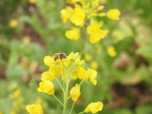 採蜜するミツバチ